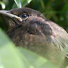 Baby Blackbird by cornishgirlie