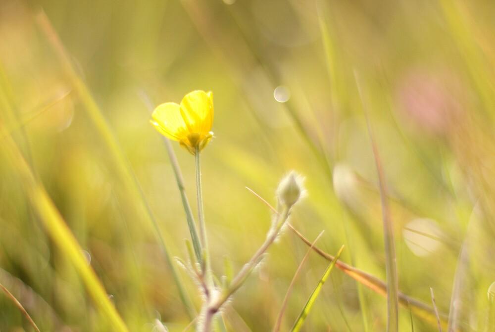 Buttercup by lorrainem