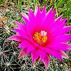 Pincushion Cactus - Escobaria vivipara by Digitalbcon