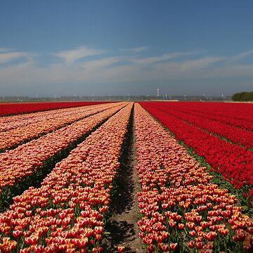 Tulip Field in Spring by Jokus