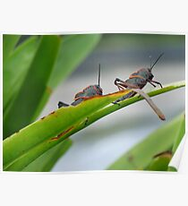 Grasshoppers  Poster