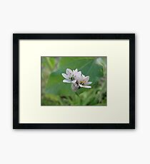 Siberian Quill Lilly  Framed Print
