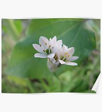 Siberian Quill Lilly  Poster