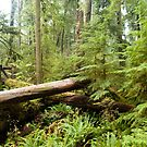Cathedral Grove by Steve Hunter