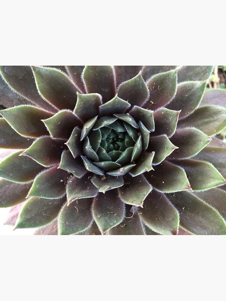 Sempervivum from A Gardener's Notebook by douglasewelch