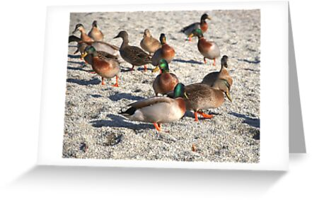 Mallards basking on beach by mechelle142