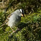 White-crowned Sparrow by Wayne Wood