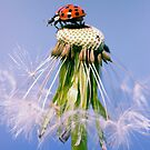 Ladybugs & Dandelion by Falko Follert