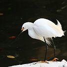 """  Snowy Egret  "" by fortner"