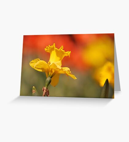Sunshine On Daffodil Greeting Card