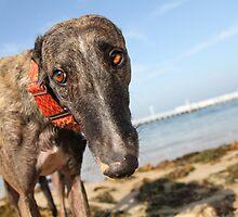 Beach Bum Hollie by GreyhoundSN