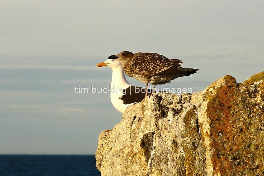 pacific gulls, bicheno. eastcoast, tasmania by tim buckley | bodhiimages