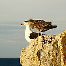pacific gulls, bicheno. eastcoast, tasmania by tim buckley   bodhiimages