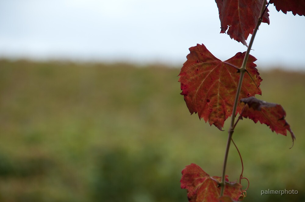 Grape Vine, Margaret River, Western Australia by palmerphoto