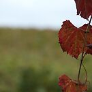 Grape Vine, Margaret River, Western Australia by palmerphoto