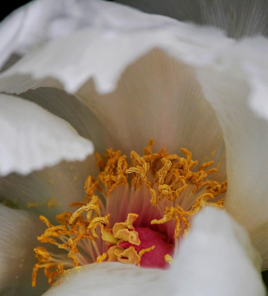 White Peony by cmgable