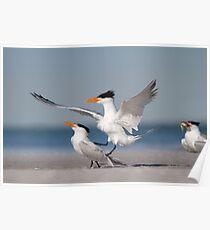 Nice Guys Finish Last - Royal Terns Poster