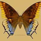 Two Tailed Pasha Butterfly by Walter Colvin