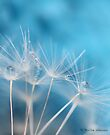 Dandelion blues by Photos - Pauline Wherrell