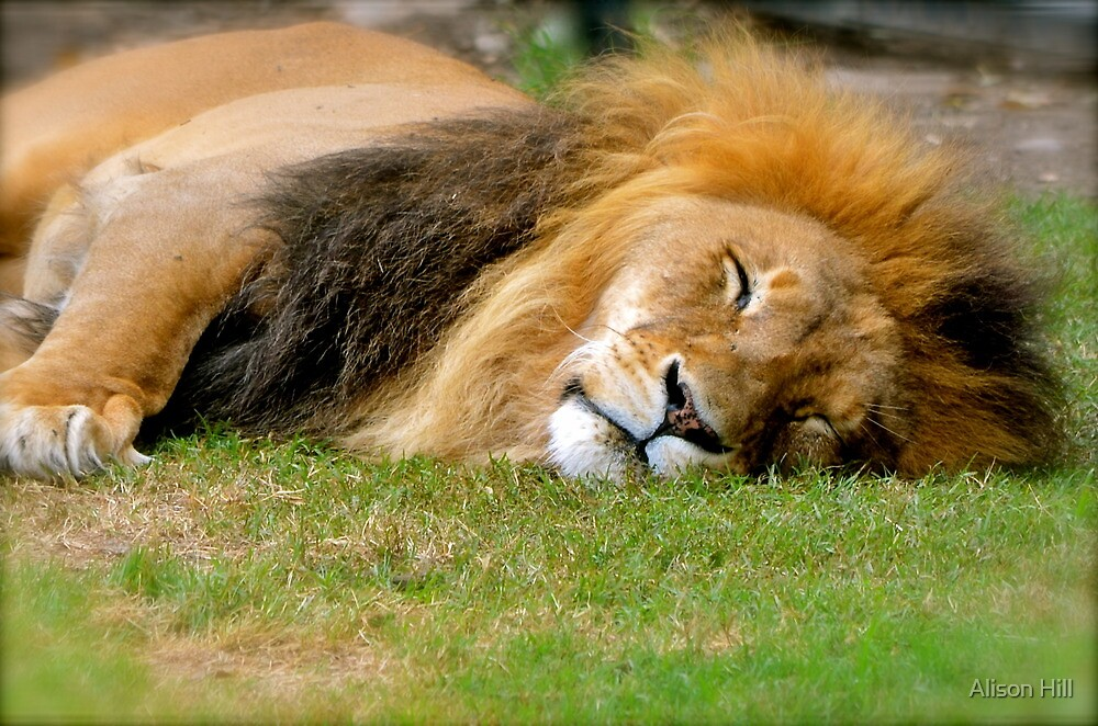 All tuckered out! by Alison Hill