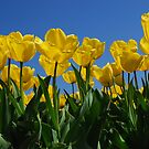 Yellow tulips by roumen
