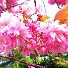 Sakura - Close Up by DCLehnsherr