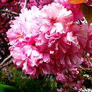 Sakura - Close Up 2 by DCLehnsherr