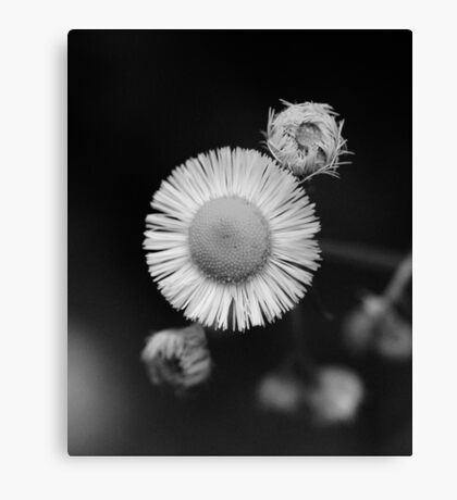 wild flower detail with rain drop on bloom B&W  Canvas Print