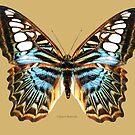 Clipper Butterfly by Walter Colvin
