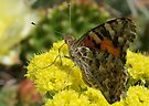 PAINTED LADY by Betsy  Seeton