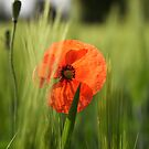 Poppy 2012 17 by Falko Follert