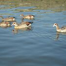 ducks on the broads by cheeseman-art