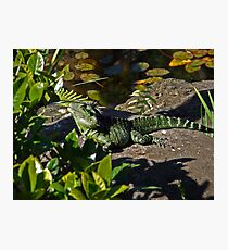 Water dragon on safari Photographic Print