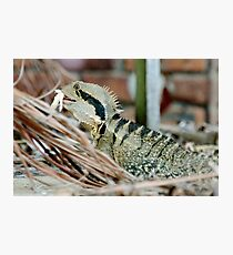 Lizard having a meal Photographic Print