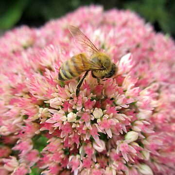 Honey bee on Pink Flower by CuteNComfy