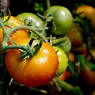 Drops on immature red and green tomato after a rain shower. by Sami Sarkis