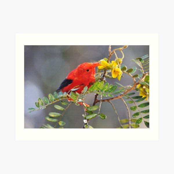 'I'iwi bird extracting nectar from yellow tree flowers in Maui, Hawaii Art Print