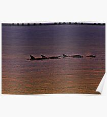 Sunset Frolic, Dolphin Joy Poster
