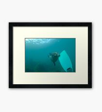 Sea lion biting a diver flipper, Underwater Framed Print