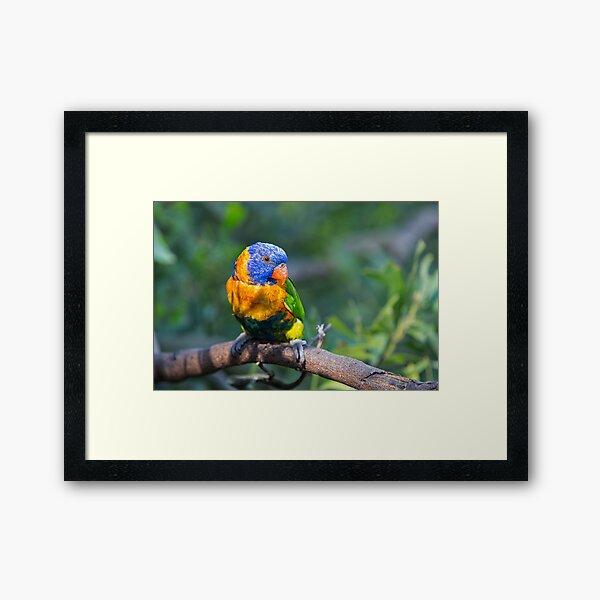 Colourful Character - Rainbow lorikeet Framed Art Print
