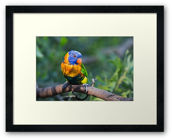 Colourful Character - Rainbow lorikeet by Norman Repacholi