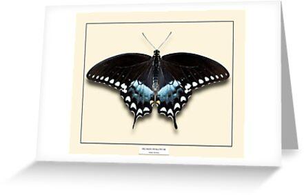 Spicebush Swallowtail Butterfly - Specimen style print by Mark Podger