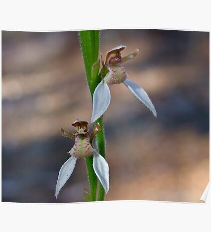 Bunny Orchid Poster