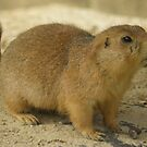 Prairie dog (genus Cynomys) by angeljootje