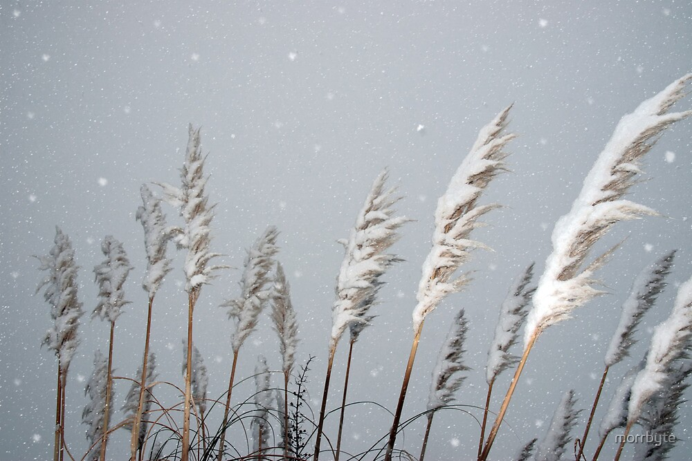 snowy covered reeds by morrbyte