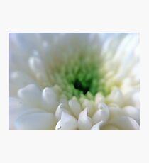 White Chrysanthemum Flower. Photographic Print