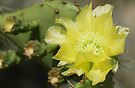 Cactus Bloom by barnsis