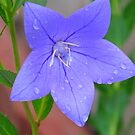 Harebell in the rain by Christine Ford