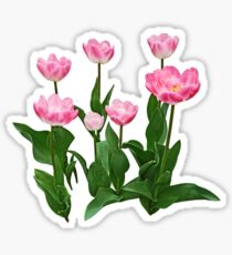Circle of Pink Tulips Sticker