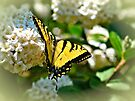 Tiger Swallowtail Butterfly  by Elaine Manley
